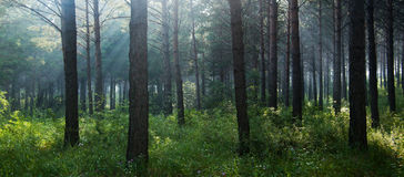 Foresta Immagini Stock Libere da Diritti