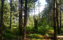 Foresta 62 Fotografia Stock Libera da Diritti