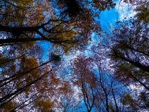 Foresta, alberi autunnali contro il fondo della natura del cielo blu fotografie stock