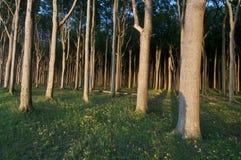 Foresta all'indicatore luminoso del sole Immagini Stock Libere da Diritti