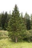 Foresta alpina dell'albero sulla montagna in Samnaun Immagine Stock