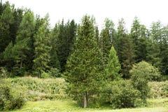 Foresta alpina dell'albero sulla montagna in Samnaun Fotografie Stock