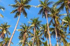 Foresta alta della palma sul fondo del cielo blu Corona e tronco della palma di Cochi Fotografia Stock