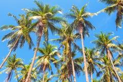 Foresta alta della palma sul fondo del cielo blu Foto della palma di Cochi Fotografia Stock Libera da Diritti
