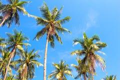 Foresta alta della palma sul fondo del cielo blu Foto della palma di Cochi Fotografia Stock