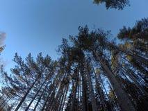 Foresta alta maestosa del pino Fotografia Stock Libera da Diritti