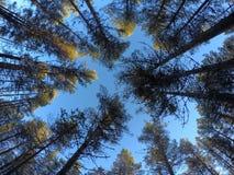 Foresta alta maestosa del pino sul cielo blu di autunno Fotografia Stock