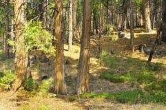 Foresta americana Fotografia Stock