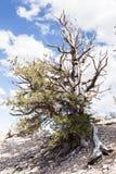 Foresta antica del pino di Bristlecone Fotografia Stock Libera da Diritti
