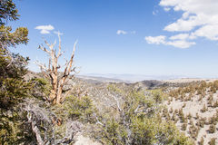 Foresta antica del pino di Bristlecone Fotografie Stock Libere da Diritti