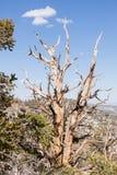 Foresta antica del pino di Bristlecone Fotografie Stock