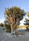 Foresta antica del pino di Bristlecone Immagini Stock Libere da Diritti