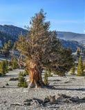 Foresta antica del pino di Bristlecone Fotografia Stock