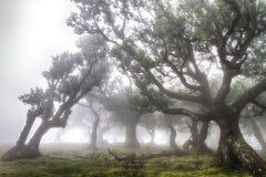 Foresta antica dell'alloro nella nebbia Immagine Stock