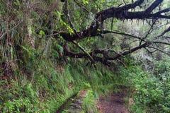 Foresta antica di laurelsilva a Caldeirao Verde Immagine Stock