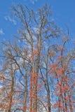 Foresta asciutta dell'albero del mapple Fotografia Stock Libera da Diritti