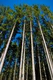 Foresta attillata Fotografia Stock