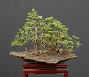 Foresta attillata dei bonsai sulla roccia Fotografia Stock Libera da Diritti