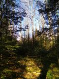 Foresta attillata della primavera nelle montagne carpatiche Fotografia Stock Libera da Diritti