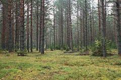 Foresta attillata densa immagine stock libera da diritti