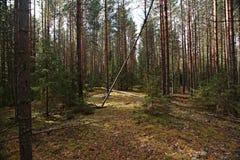 Foresta attillata densa Immagini Stock