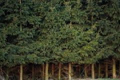 Foresta attillata densa con il tronco attillato denso fotografia stock