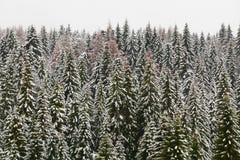 Foresta attillata nevosa dell'alta montagna Fotografie Stock Libere da Diritti