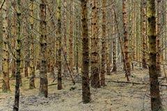 Foresta attillata seccata Fotografie Stock Libere da Diritti