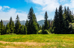 Foresta attillata su un prato in alto Tatras Fotografie Stock Libere da Diritti