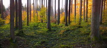 Foresta autunnale con le foglie colorate luminose del faggio fotografia stock libera da diritti