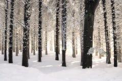 Foresta bianca Immagine Stock