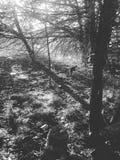 Foresta in bianco e nero fotografia stock libera da diritti