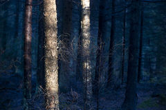 Foresta blu Fotografia Stock