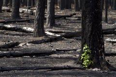 Foresta bruciata Fotografie Stock