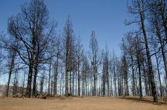 Foresta bruciata del pino delle Canarie Immagine Stock