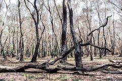 Foresta bruciata dopo fuoco Fotografie Stock