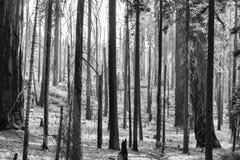 Foresta bruciata paesaggio straniero in bianco e nero con l'albero nero TR immagine stock