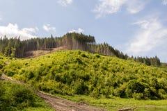 Foresta carpatica Fotografia Stock