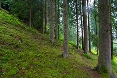 Foresta carpatica Fotografia Stock Libera da Diritti