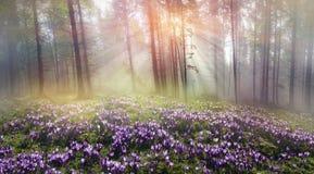 Foresta carpatica magica all'alba Fotografie Stock
