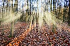 Foresta che una mattina nebbiosa in un Sun pittoresco della foresta di autunno rays Fotografie Stock