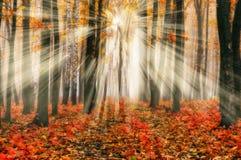 Foresta che una mattina nebbiosa in un Sun pittoresco della foresta di autunno rays Fotografia Stock Libera da Diritti