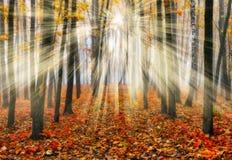 Foresta che una mattina nebbiosa in un Sun pittoresco della foresta di autunno rays Fotografie Stock Libere da Diritti