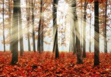 Foresta che una mattina nebbiosa in un Sun pittoresco della foresta di autunno rays Fotografia Stock