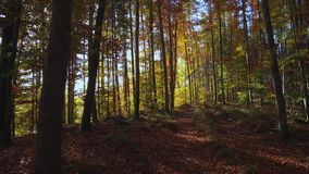 Foresta colorata del faggio in autunno archivi video