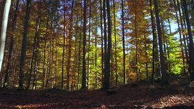 Foresta colorata del faggio in autunno video d archivio