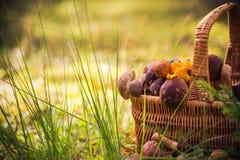 Foresta commestibile piena dei funghi del canestro di caduta Immagine Stock