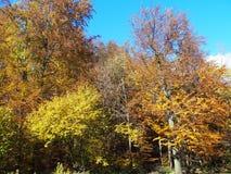 Foresta con gli alberi variopinti all'autunno Immagini Stock Libere da Diritti