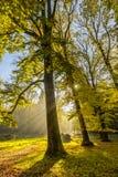 Foresta con i grandi alberi di faggio, fagus sylvatica, durante l'autunno nei bei colori caldi di autunno Fotografia Stock Libera da Diritti