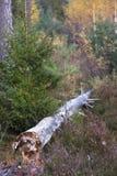 Foresta con l'albero di decomposizione Fotografia Stock Libera da Diritti